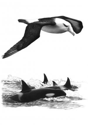 Albatros et orques