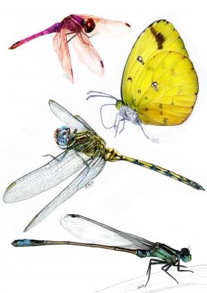 Lépidoptères et odonates