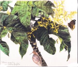 Obétia Ficifolia et Salamis Augustina