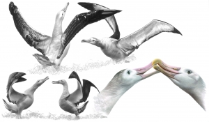 Parade Grands albatros