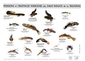 Poster poissons et macro crustacés d'eaux douces de la Réunion