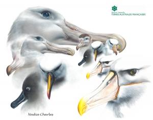 Portraits d'albatros