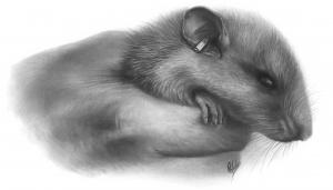 Rat bagué